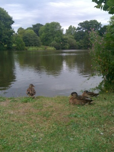 Ducks by the lake at Essex University's Colchester campus